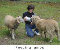 feedlambcap.jpg